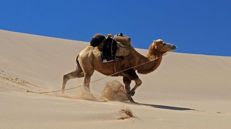 chameau de Mongolie